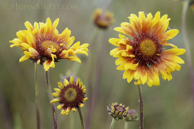 Blanketflower Gaillardia aristata (c) John Ashley