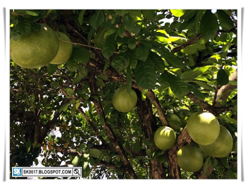 Outstation Trip - The Pomelo Tree