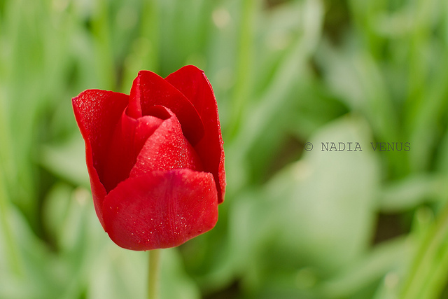Red Tulip - close up