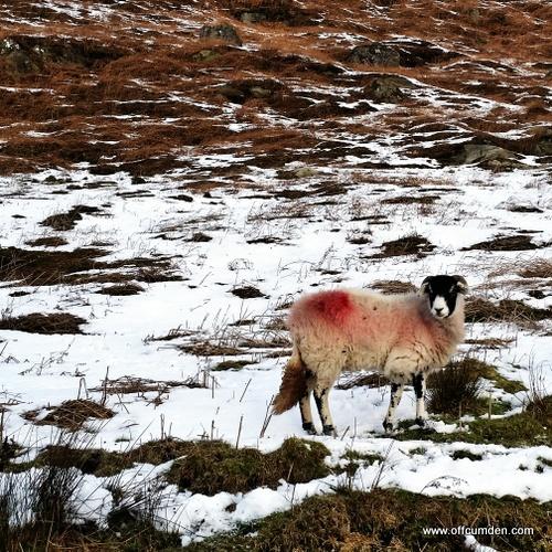 Wharfedale sheep