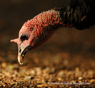 Wild Turkey eating, Robert Rafton
