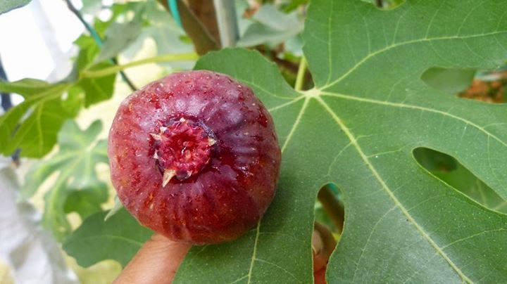 m&s figs