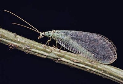 6 Lacewings %Category Photo