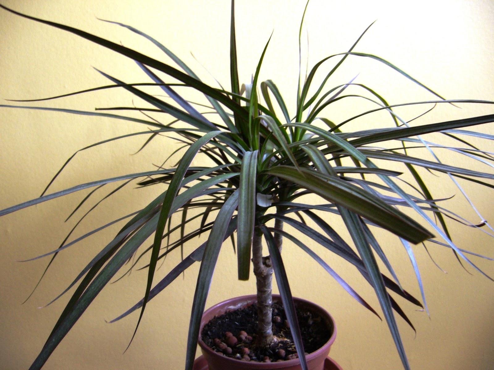 Les plantes de peg dracaena marginata totem dragonnier de madagascar - Entretien dracaena marginata ...
