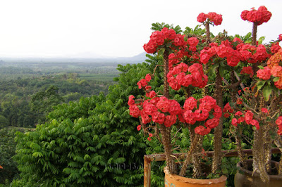 Euphorbia milii or Crown-of-Thorns plant