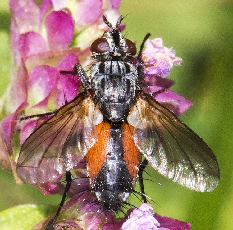 Tachinid Fly, Eriothrix rufomaculata.  High Elms Country Park, Conservation Field, 11 August 2014.