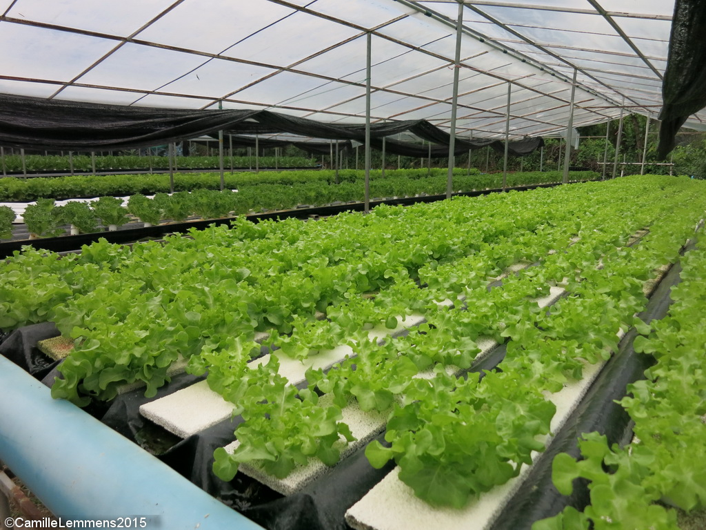hydroponic farming Moreover, many hydroponic farms are being built on old farm sites they are  agricultural land that has been concreted over, lau says.
