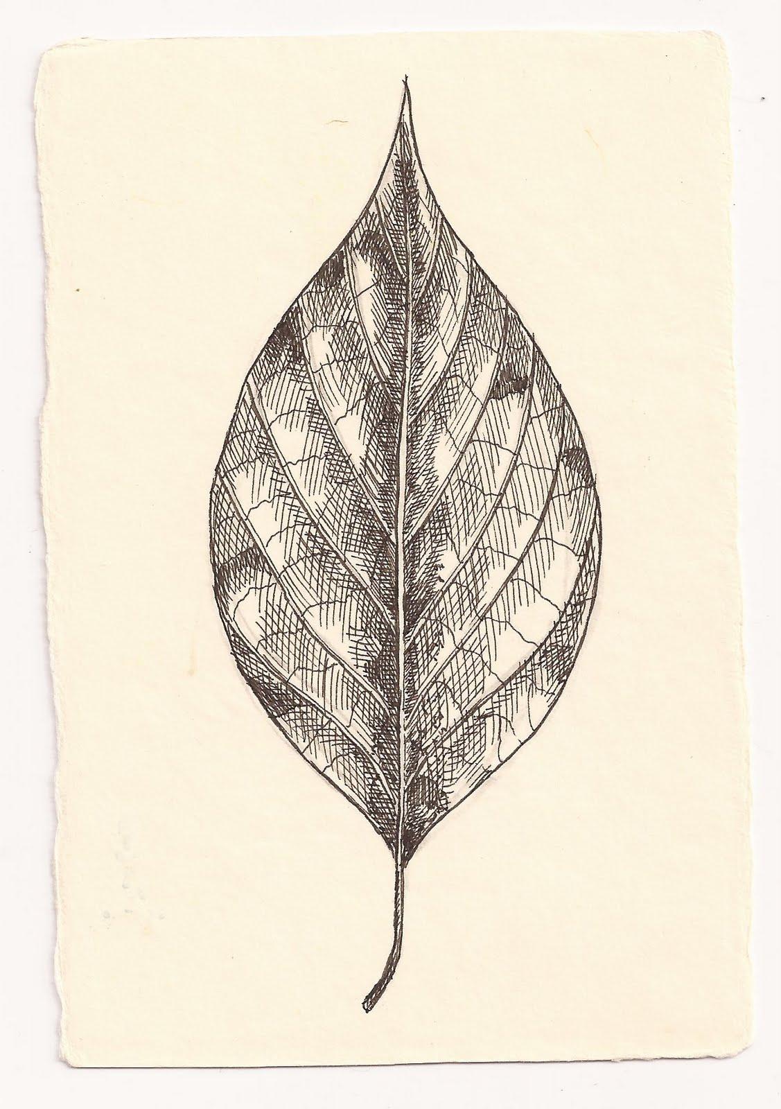 Dessins d 39 une me feuille de cornouiller feuilles alternes - Dessin d une feuille ...
