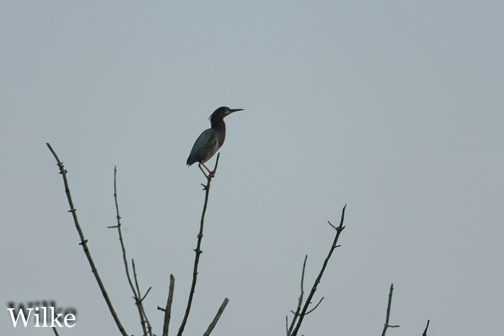 Green Heron perched at sunset.