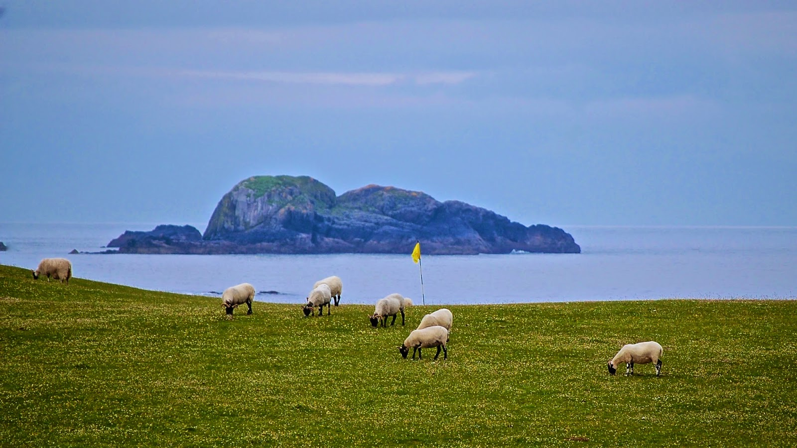 Sheep hazards on the green, Isle of Iona golf course
