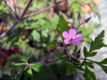 Geranium purpureum (Geranio purpureo)