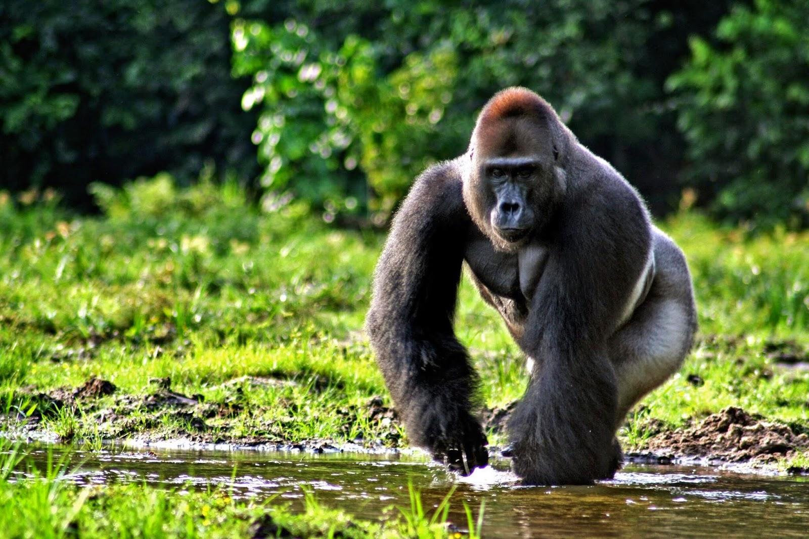 Fakta tentang Gorilla - Ajaib dan Aneh