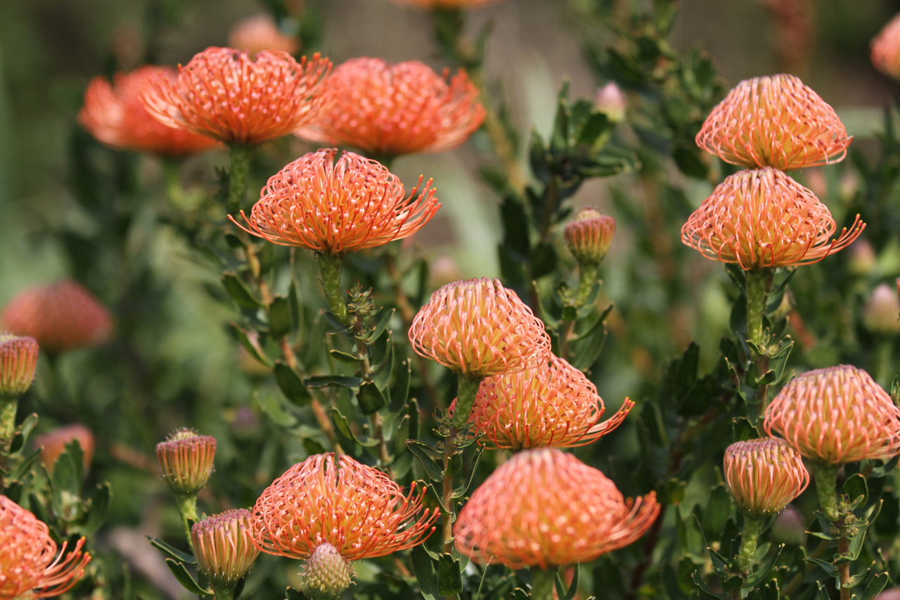 Pincushion Protea Tanarah Luxe Floral: B...