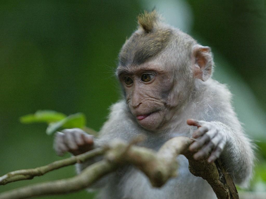 http://3.bp.blogspot.com/-CdFpXDJcOGE/T6XwXBw--mI/AAAAAAAAADA/D9hz-brzK64/s1600/Bali_Monkey_Forest_Little_Monkey.jpg