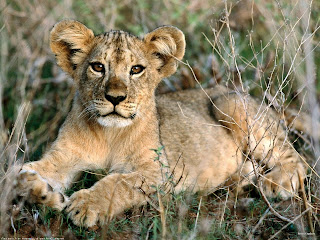imagen de u cachorro de leon