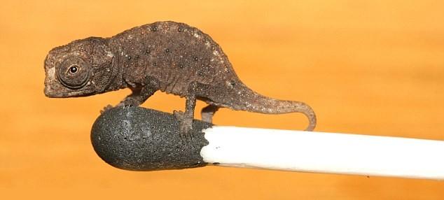 el camaleon mas pequeño del mundo