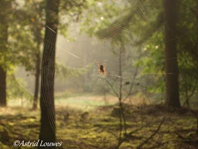 Valtherbos met spinnenweb