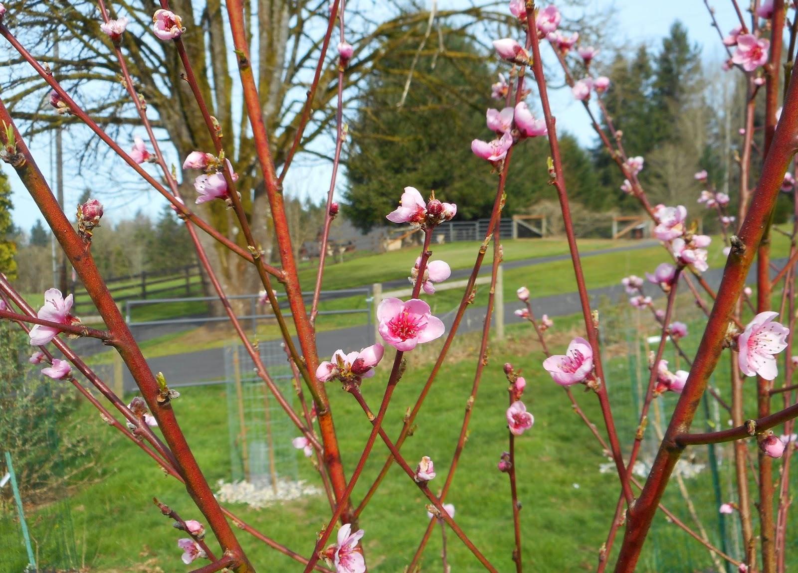 Выращивание персика в Подмосковье Сайт о саде, даче и 16