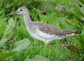 Greater &amp; Lesser Yellow Legs (Photo Library)