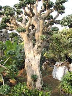 pohon serut Tanaman Penolak Santet