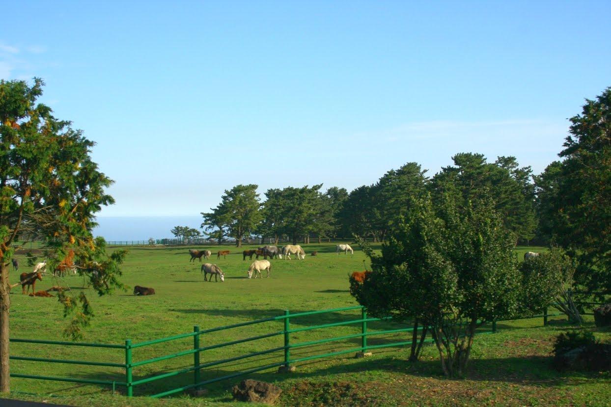 Jeju Island Horses!