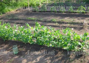 Выращивание гороха на рабице