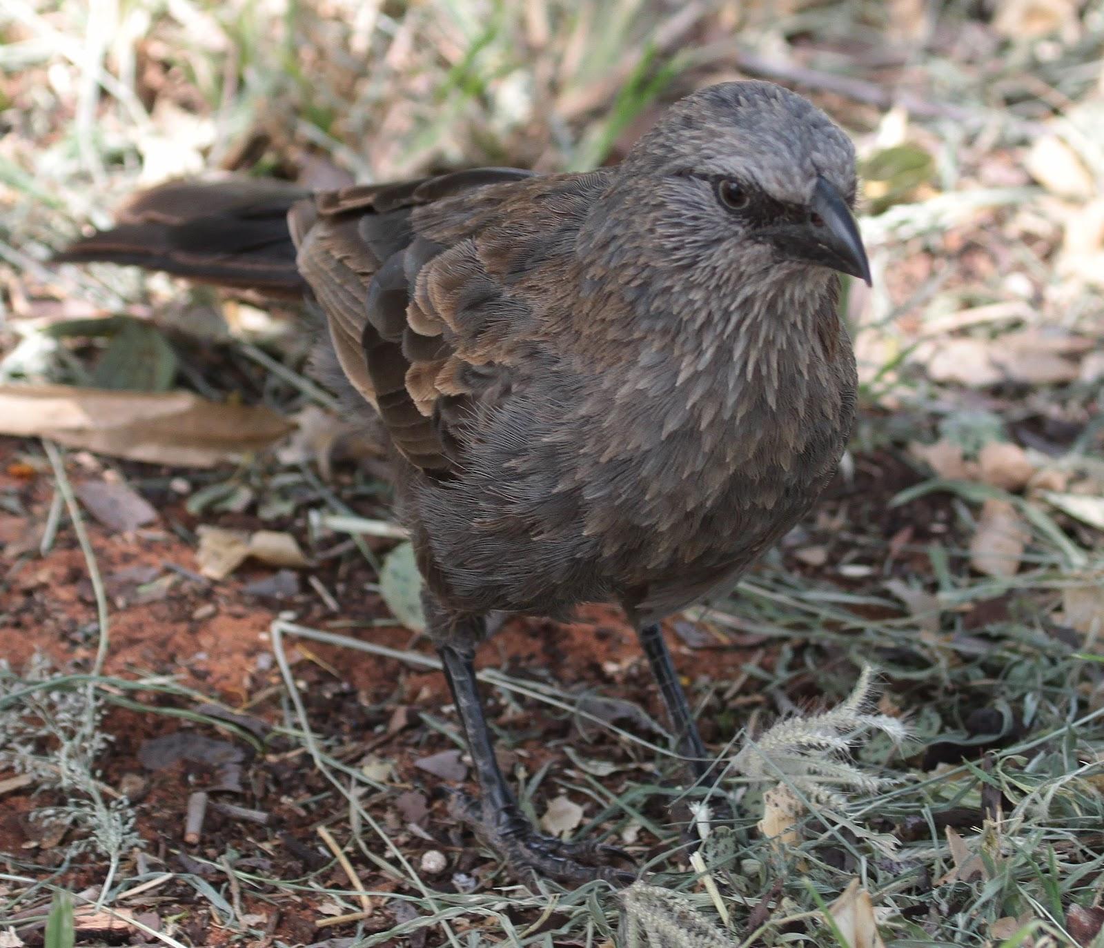 Richard Waring's Birds of Australia