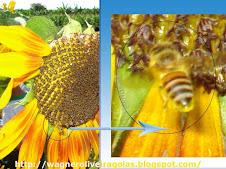 O colapso das abelhas