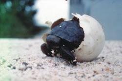 Adopt a Galapagos Tortoise