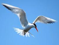 arctic tern burung tercepat migrasi terpanjang di dunia