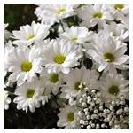 Membuat rambut berkilau dengan bunga aster