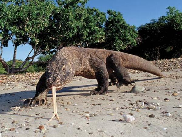 Hewan Komodo dan Ciri Cirinya