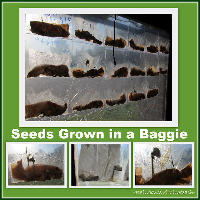photo of: Seeds and Science: Classic Experiment of Seeds Growing in a Baggie on the Window