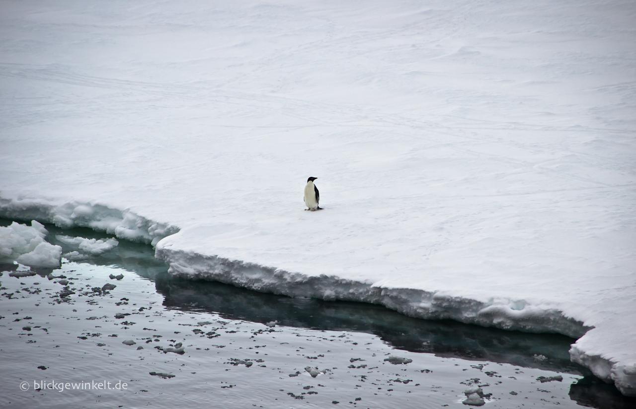 Antarktis Adelie Pinguin