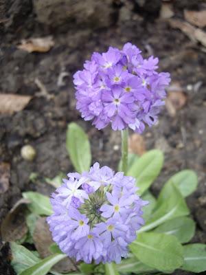 Derri re les murs de mon jardin cinq floraisons d avril - Derriere les murs de mon jardin ...