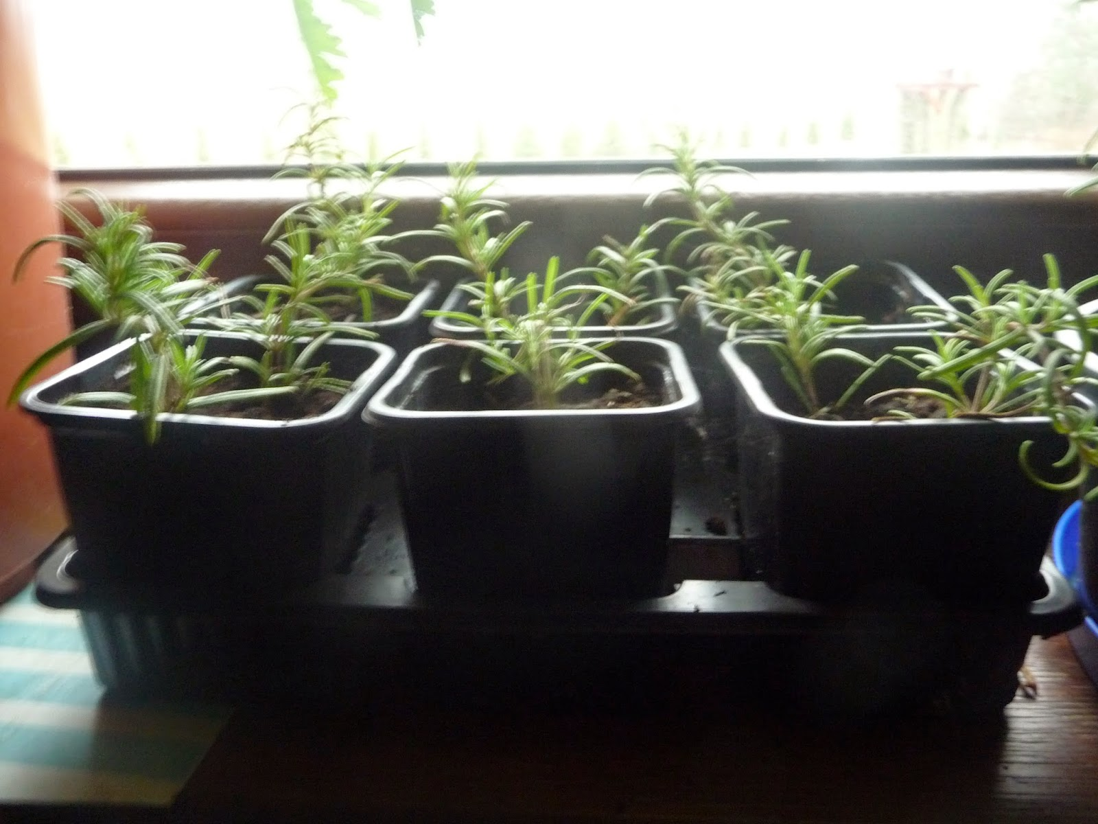 young rosemary plants