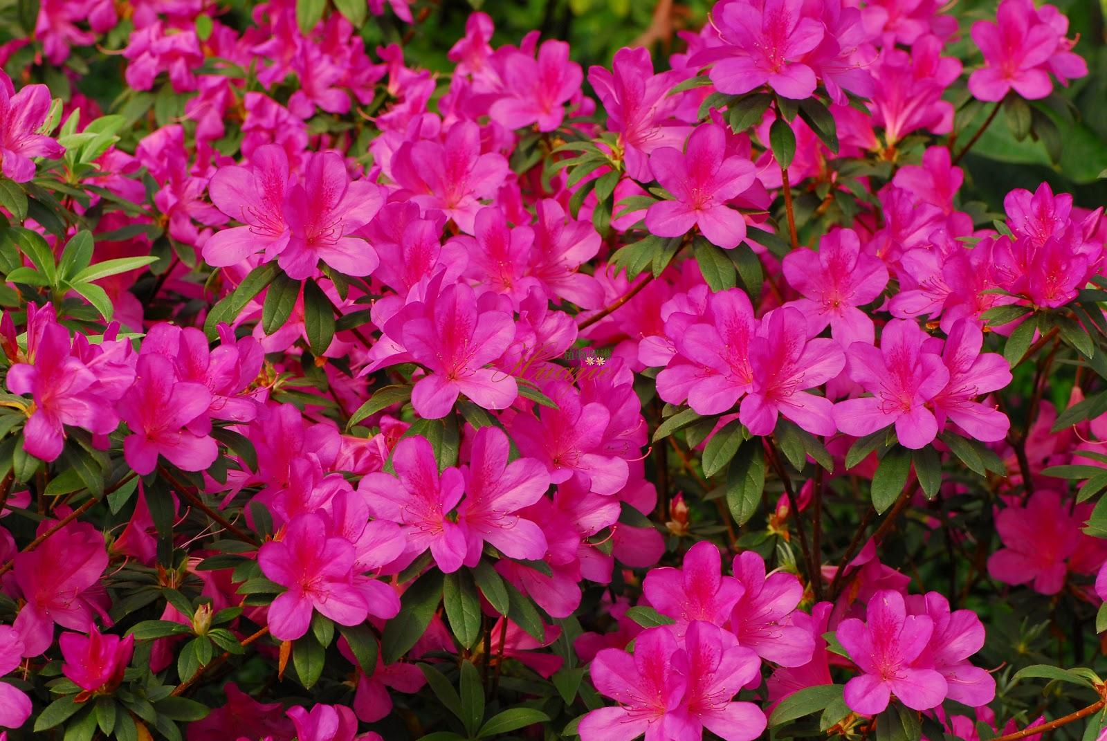 Ch cara flora rohn plantas ornamentais paisagismo for Especies de arbustos