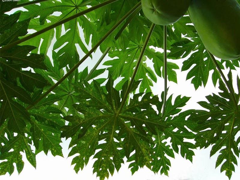 Papaya Leaf Efficacy for Health