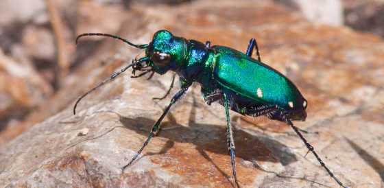 Animal that  Runs the Fastest - Australian Tiger Beetle