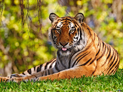 Beangal Tiger Wallpapers