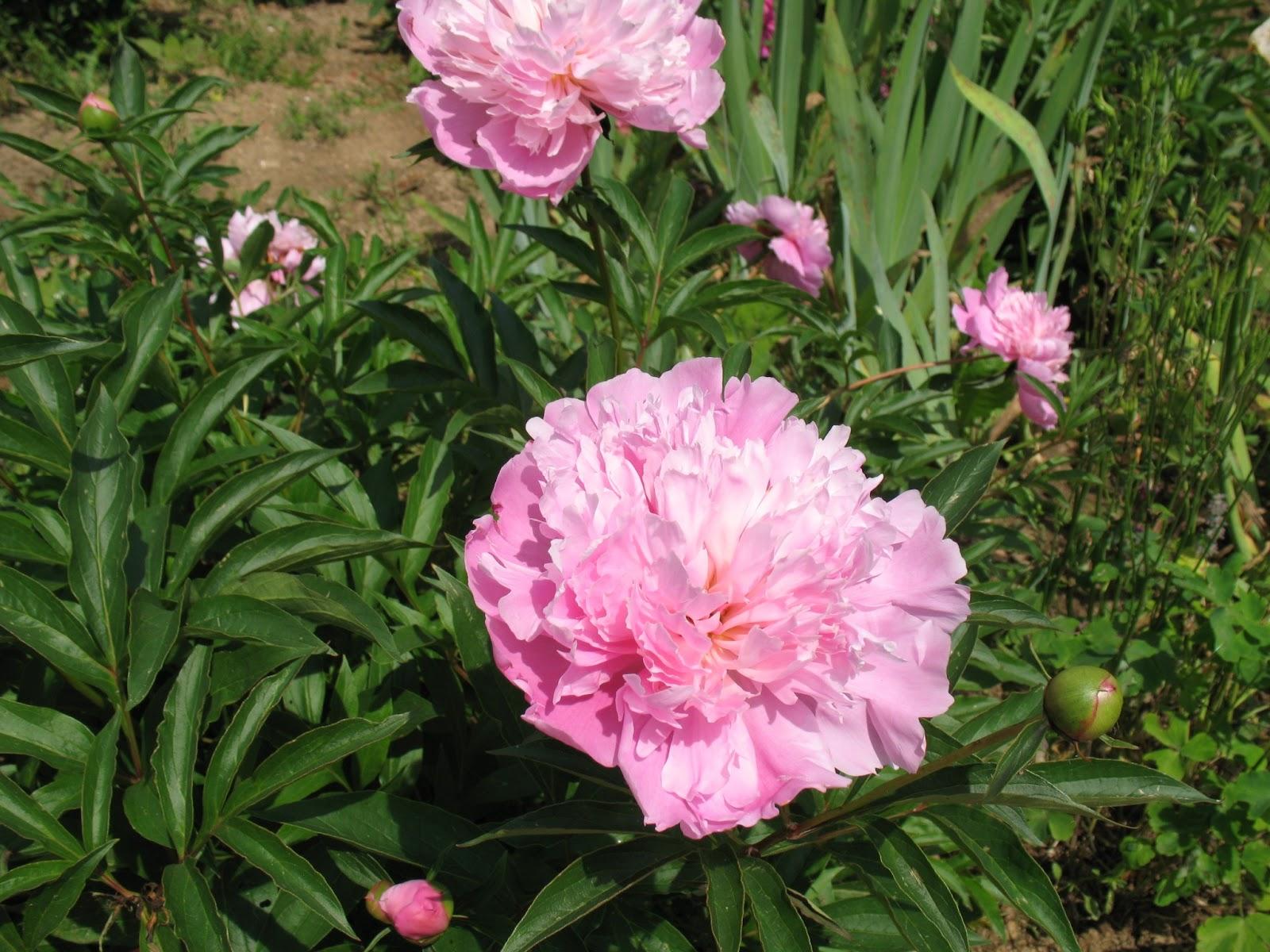 Roses du jardin Chêneland: Déplacement et plantation d'une ...