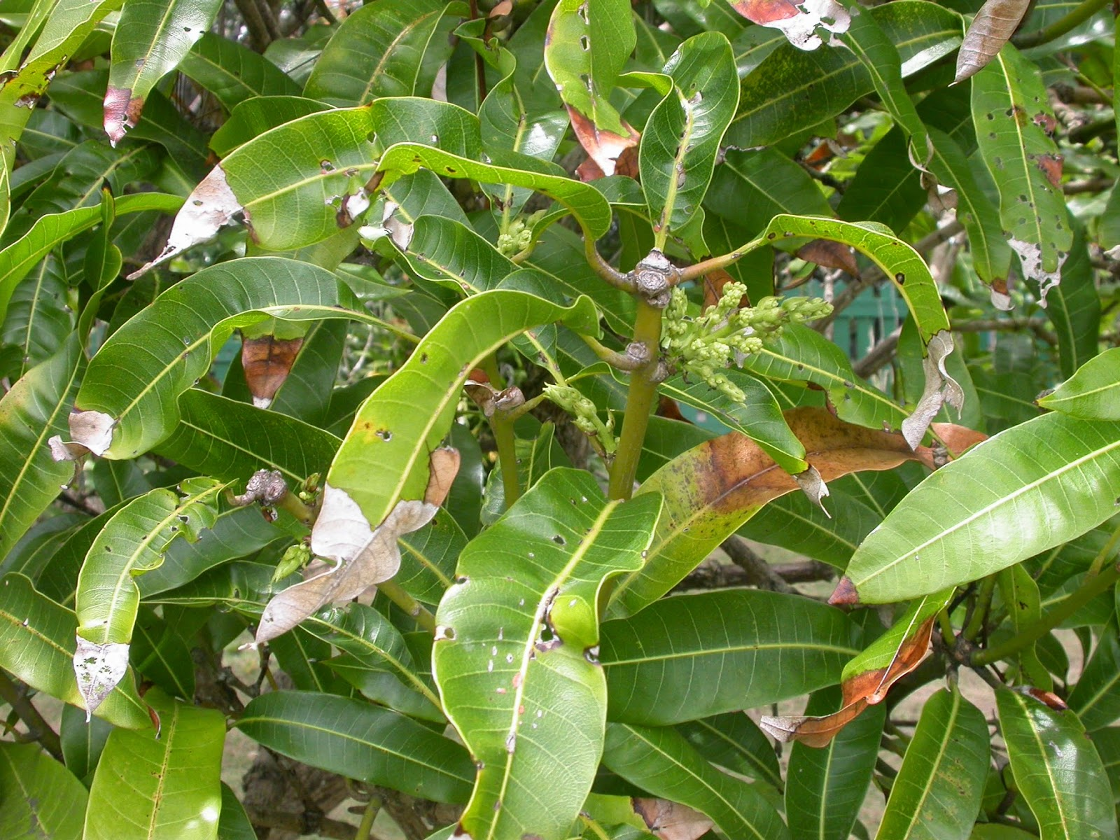 Awesome Mango Tree Not Producing Fruit Part - 14: But Itu0027s Not Only Avocados And Mangoes. Plum And Golden Apple Trees Are  Also Flowering Profusely, As Are Guava And Sugar Apple. Looks Like  Conditions Are ...