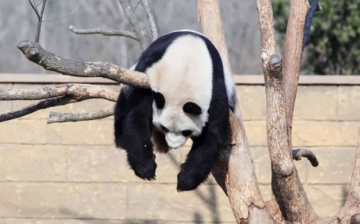Funny animals of the week - 10 January 2014 (35 pics), panda relaxing on a tree