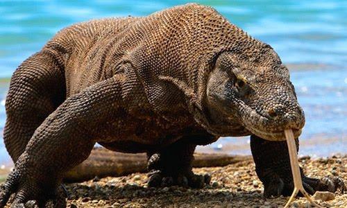 The Komodo Dragon, Indonesia's National Animal