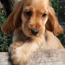Cocker Spaniel pictures
