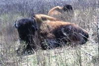 buffalo, American bison, Bison bison