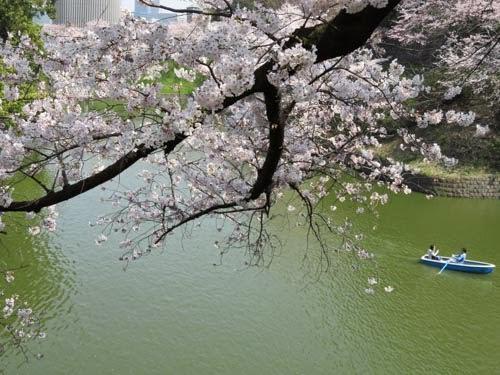 千鳥ヶ淵の桜02