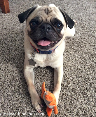 Pug smiling while holding a small dog toy