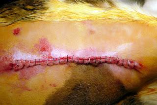 tumores de mama gata