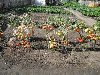 последние плоды помидоров